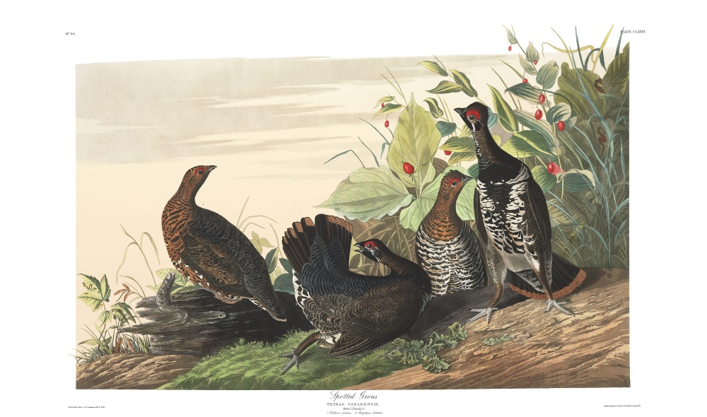 Plate 176, Spotted Grouse