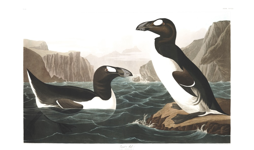 Plate 341, Great Auk (now extinct)