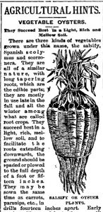 Old newspaper article including a black and white drawing of salsify roots, which resemble a carrot bunch.