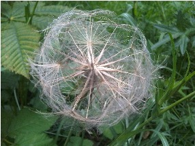 Photograph of salsify flower head without petals, resembling a puff of seeds, against a grassy green background.