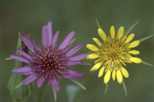 Photograph showing purple flower head next to yellow flower head, with green, grassy background.